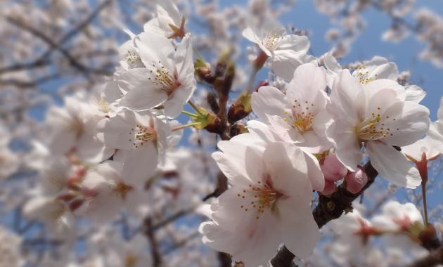 見て美しい。使って綺麗に!桜も美容成分なのです!