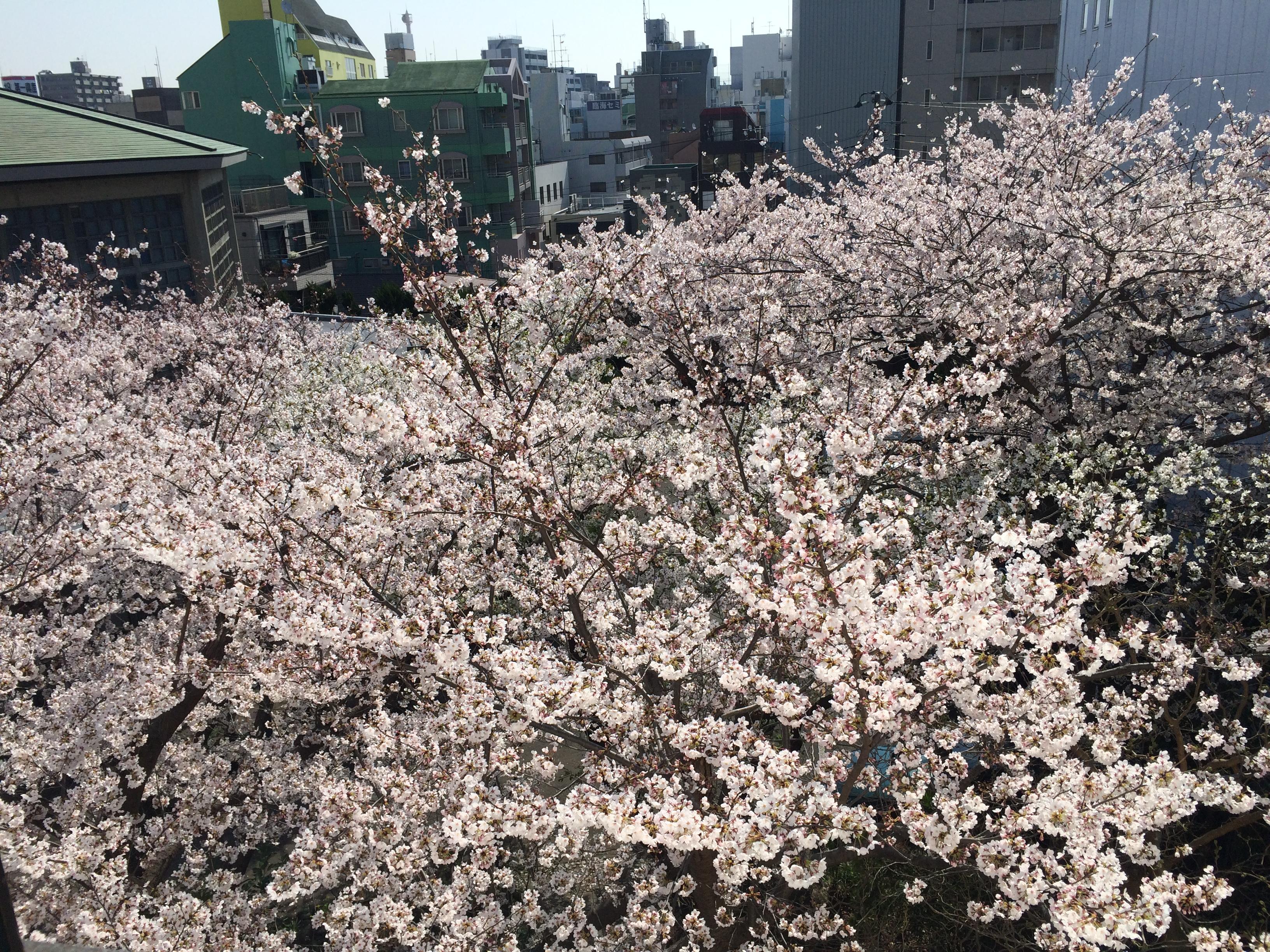 レイテノールの目の前の桜